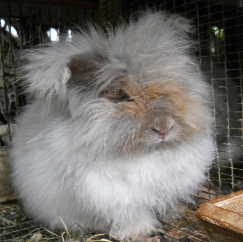Phineus, a lilac English Angora here at Hillside Farm